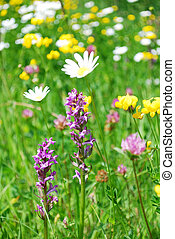 mountain meadow - meadow with various flowers and shallow...