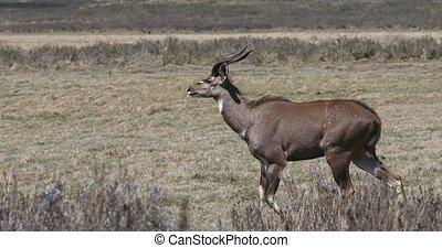 young male of endemic very rare Mountain nyala, Tragelaphus buxtoni, big antelope in Bale mountain National Park, Ethiopia, Africa wildlife