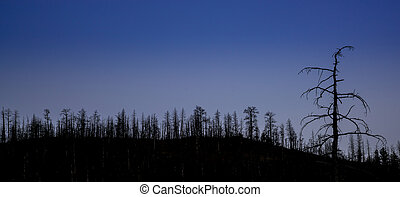 mountain pine forest after wildfire