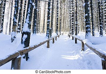 Mountain pine forest in winter
