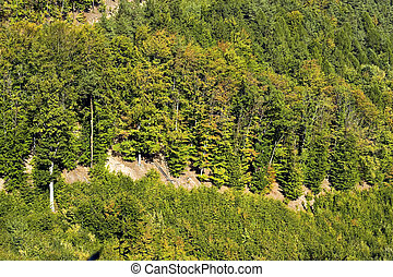 Mountain pine forest on the hillside.