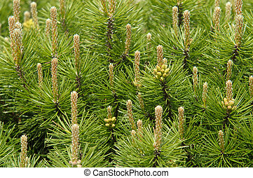 Mountain pine in spring with male cones