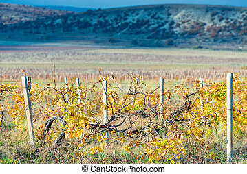 mountain plantations of grapes in the autumn afternoon, empty vines with yellowed leaves