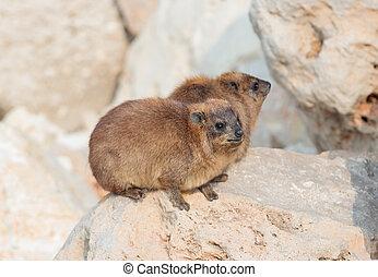 mountain rabbit sitting between rocks on the morning