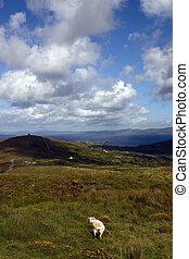mountain sheep 4 - mountain sheep grazing on a hillside on...