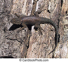 Mountain Spiny Lizard - Sceloperus magister - Madera Canyon,...