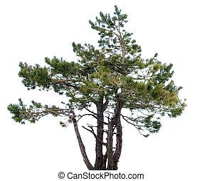 Mountain spruce.