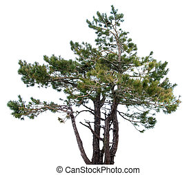 Mountain spruce. conifer.Isolated over white