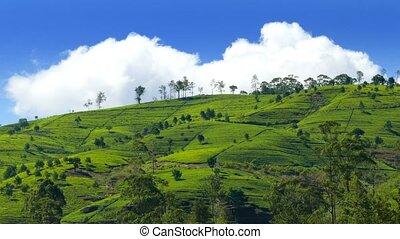 mountain tea plantation in Sri Lanka