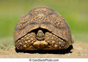 Mountain tortoise (Geochelone pardalis) in natural...