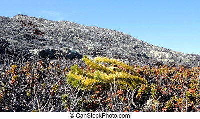 Mountain tundra in Lapland - site of rocks and rare specific...