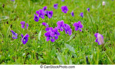 violets against a green grass