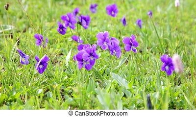 Mountain violets against a green grass are shaken by wind
