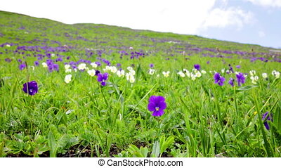 Mountain violets flowers against a green grass are shaken by...