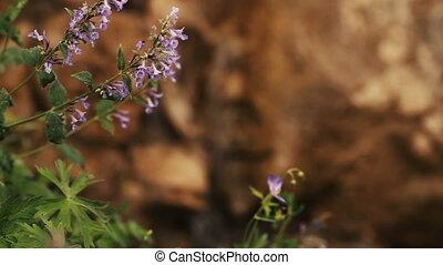 Mountain waterfall in background crocus flowers