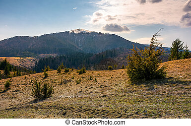 mountain with snowy peak in springtime. forested hillsides...