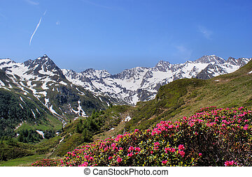 Deep blue sky, snow-capped mountains and alpine roses in the foreground