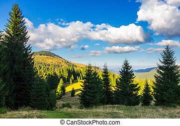 mountainous forest and clouds. tall spruce trees on...