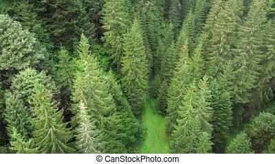 mountains, лес, украинец, зрелый, высокий, trees, карпатская, ель