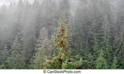 mountains, лес, украинец, карпатская, ель, дерево, пустыня