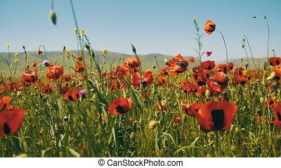 mountains, blossoms, swaying, поле, красный, задний план, poppies, ветер