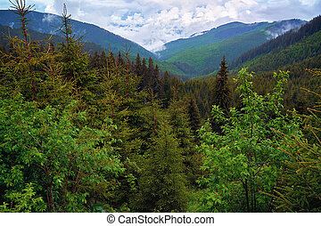 Mountains covered in pine trees - Aerial view of afforested ...