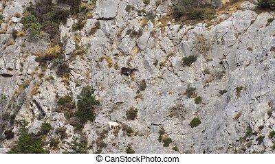 Mountains goats climbing on cliffs