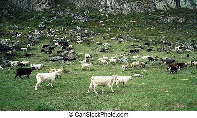 Mountains goats eat grass on pasture. Approaching