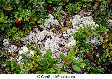 mountains-hills, berg, natürlich, natur, stadt, kandalaksha, backgrounds., russland, halbinsel, hintergrund., crowberries, moos, kola, closeup, weißes, cowberry, grows