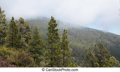 Mountains with trees, Tenerife - Tenerife pine forest