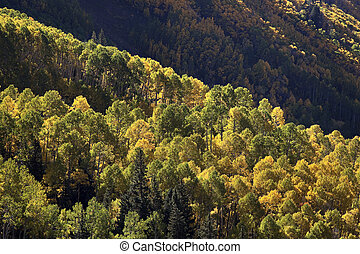 Mountainside view of aspens in autumn