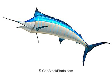 Mounted Blue Marlin isolated against a white background caught at St. Augustine, Florida, USA.