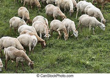 mountines, caucas, azerbijan, sheeps