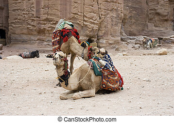 camels resting near the rocks - Mounts domesticated camels...