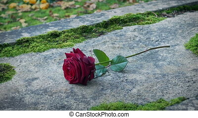 Mourner puts down a red rose flower on stone grave in pretty church yard setting
