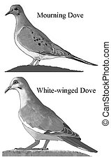 Mourning and White-winged Doves 1 - Comparison of Mourning ...