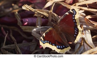 Magnificent specimen of the Mourning Cloak Butterfly, resting on castoff, dried onion leaves in a private garden. 4k Ultra HD video