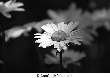 Photograph of a daisy. The black and white gives it a solemn feel.