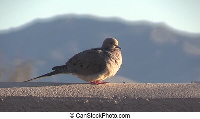 a mourning dove on a fence