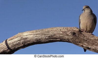 a mourning dove on log against a blue sky