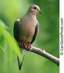 Mourning dove - Dove in Missouri Ozarks