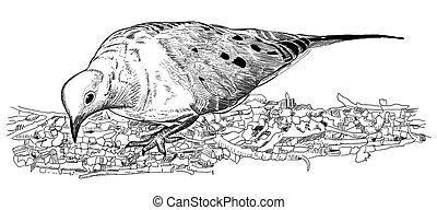 Mourning Dove feeding