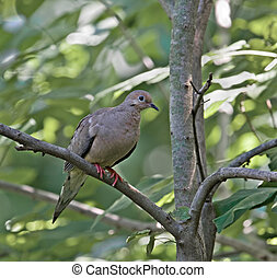 Mourning Dove - Mourning dove perched on a tree branch