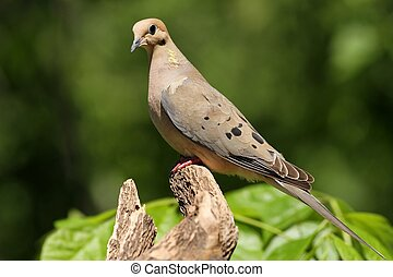 Mourning Dove - Perched and posing for me on a log I set up ...