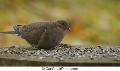 Mourning Dove / Turtle Dove Eating - Mourning Dove, also...