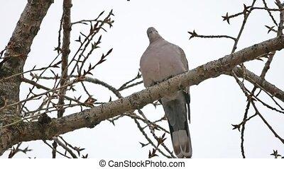 Mourning Dove turtledove bird Zenaida macroura on tree...