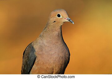 Mourning Dove (Zenaida macroura) close-up with a colorful ...