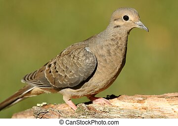 Mourning Dove (Zenaida macroura) close-up with a green ...