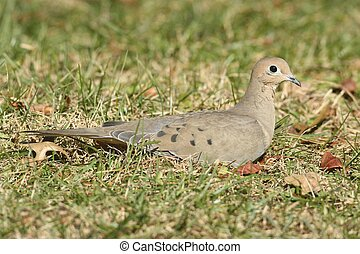 Mourning Dove (Zenaida macroura) in a field of grass