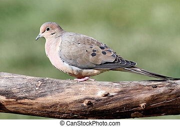 Mourning Dove (Zenaida macroura) in winter on a log